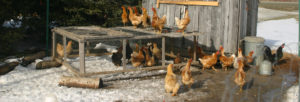 heated chicken waterer